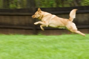 A light brown dog running and jumping in a residential back yard in front of a solid wood privacy fence