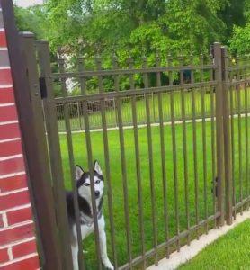 A husky inside of a residential backyard behind a locked ornamental iron gate