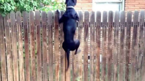 Large black dog jumping vertically to see over a very tall wood fence